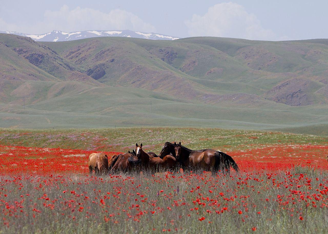 1280px Horses in Kazakhstan